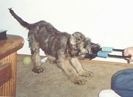 Desi the Briard puppy playing tug-of-war with a person
