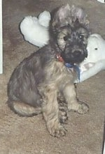 Desi the Briard puppy sitting on a carpet in front of a white plush bunny toy