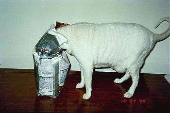 Chub the white cat standing on a table with its head in a bag of cat food