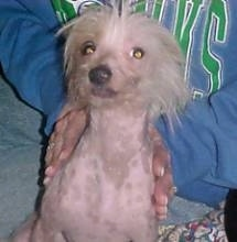 A Chinese Crested hairless is sitting in front of a person there is a blue sweater with green lettering all over it