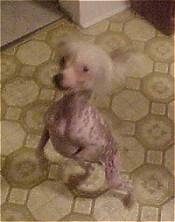 Reggy the Chinese Crested hairless is standingon its hind legs and looking up at its owners in a kitchen