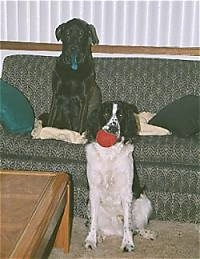 A Black Lab/Golden Retriever mix is sitting on a couch on top of a pillow. There is a black with white English Springer Spaniel with a red ball in its mouth, sitting in front of the couch