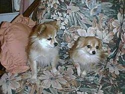 A tan with white Pomeranian is looking down at a tan with white Pomeranian puppy. They are both sitting on a chair with a flower print on it.