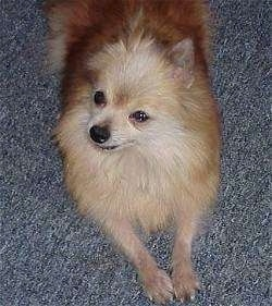 Top down view of a brown with white Pomeranian that is looking up and to the left.