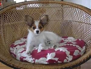Front side view - A white with red and black Papillon Puppy is laying in a wicker chair on top of a red adn white pillow looking forward.