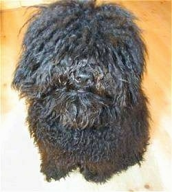 Close up head and upper body shot - A curly-coated, black Puli is sitting on a hardwood floor and it is looking up.