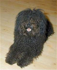 Front view - A black Puli is laying across a hardwood floor and it is looking to the left. Its mouth is open and it looks like it is smiling.
