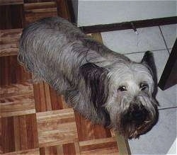 Top down view of a long haired, grey with black Skye Terrier that is standing on a wood tiled floor and it is looking up.