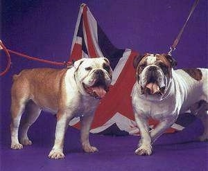 Two wide stocky, extra skinned, Victorian Bulldogs are standing on a purple backdrop they are looking forward, their mouths are open and tongues are out. There is a UK flag behind them. The dogs have big heads.
