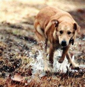 Molly the Mountain Cur is running outside splashing through a puddle