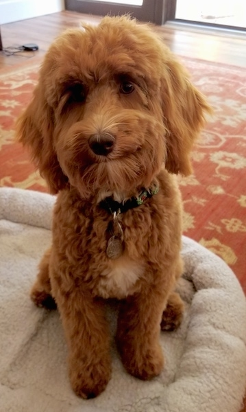 A brown with white Australian Labradoodle is sitting on a dog bed, its head is slightly tilted to the left and it is looking forward.