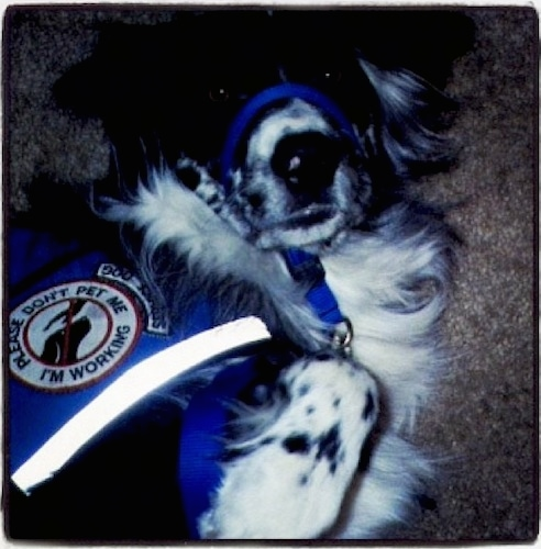 Close up - A topdown view of a black and white Australian Retriever that is wearing a blue service dog vest and a blue gentle leader collar, it is laying on a tan carpet with its paws in the air. The vest reads 'Please don't pet me I'm working'