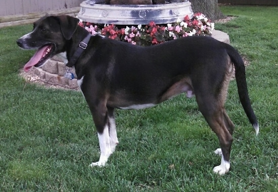 Side view - a black with white and tan dog standing out in the grass facing the left in front of a round flower bed with colorful flowers in it. The dog is wearing a black collar, its tail is hanging low and its ears are v-shaped and hanging down to the sides.