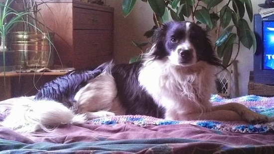A medium-sized, medium-haired black and white dog laying down across a couch on top of a tan knit blanket in front of a plant and a TV. The dog has a black nose and a long white fluffy tail.