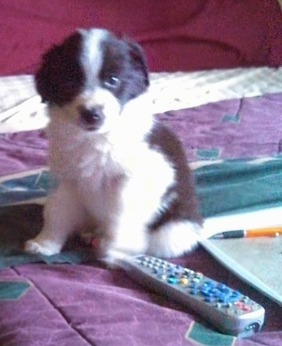 A small black and white fluffy thick coated puppy sitting down on a bed next to a TV remote, a laptop computer and a yellow and black pen.