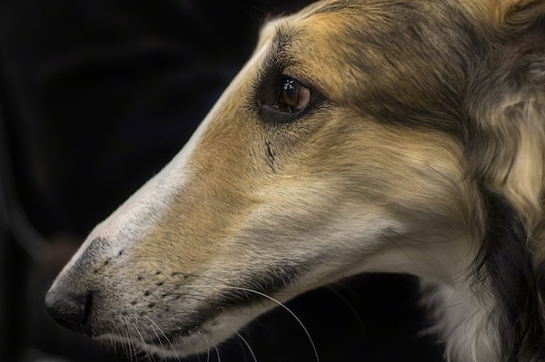 Side view of a long muzzled skinny dog with a pointy snout, black nose, dark eyes with a tan and white and black coat. The dog has white whiskers. The snout has no stop.