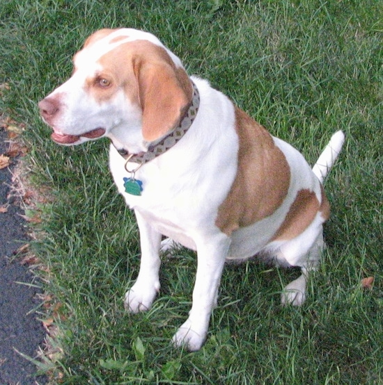 The front left side of a reddish-brown and white Brittany Beagle that is sitting on grass and it is looking ot the left.