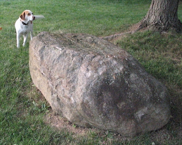 A reddish-brown with white Brittany Beagle is standing in a field behind a large rock and it is looking to the right.