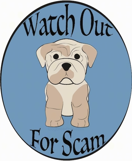A pudgy little, muscular dog with drop ears, black eyes, a square muzzle, thick legs and a black nose sitting down on an oval background that says Watch Out For Scam