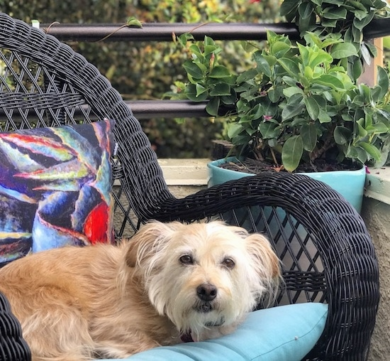 A medium-sized, scruffy looking, tan dog with longer hair on its drop ears, dark eyes and a black nose laying down on a black wicker chair outside on a porch next to a plant.