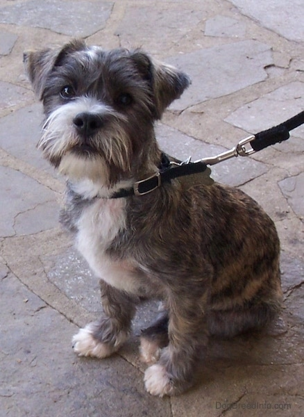 Front side view - A soft looking small brown brindle dog with a beard and small ears that fold over to the front sitting on a stone porch looking at the camera. It has white on its chest, snout and tips of its paws.