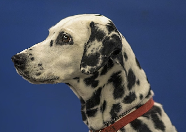 Close Up side view head shot - a large-breed, white dog with black spots wearing a red collar facing forward. The dog has wide round brown eyes and a black nose.