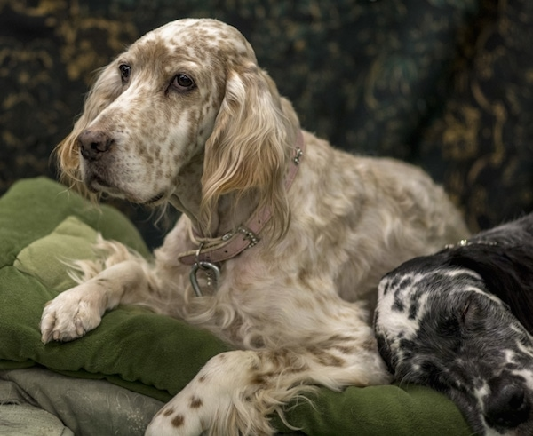 A large breed dog with white with tan spots all over it laying down on a green pillow next to a white and black dog that is sleeping. The dogs have long boxy looking snouts with drop ears that hang down to the sides with longer feathery hair on them.