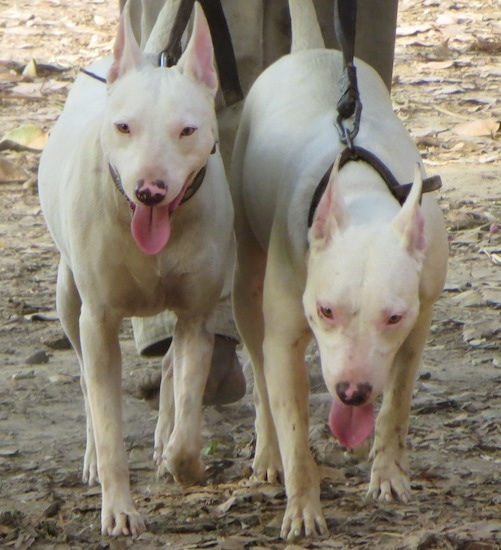 Front view - Two large breed white dogs with perk ears and slanty eyes walking forward on a dirt path. They both have pink patches on their black noses and pink eye rims.