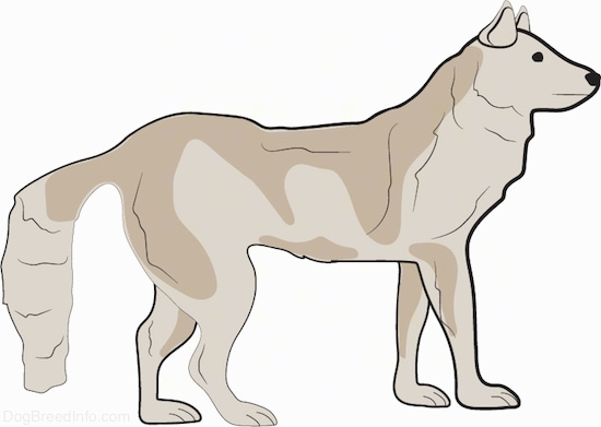 Side view - A thick coated, large dog with a black nose and tan fur standing facing the right. The dog has small perk ears and a long fluffy tail that it is holding down low. The tail almost touches the ground.