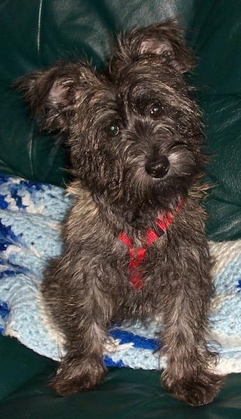 A wiry looking dark brown brindle dog with ears that stand up and fold over at the tips sitting on a blue afghan knit blanket wearing a red harness. The dog has a black nose and round dark eyes.
