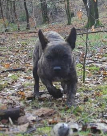 Front view of a perk bat-eared brown brindle, wiry-looking dog with a black nose, brown eyes, a small wiry beard and a blue and black collar running outside in the woods. The dog's ears are slightly pinned back.