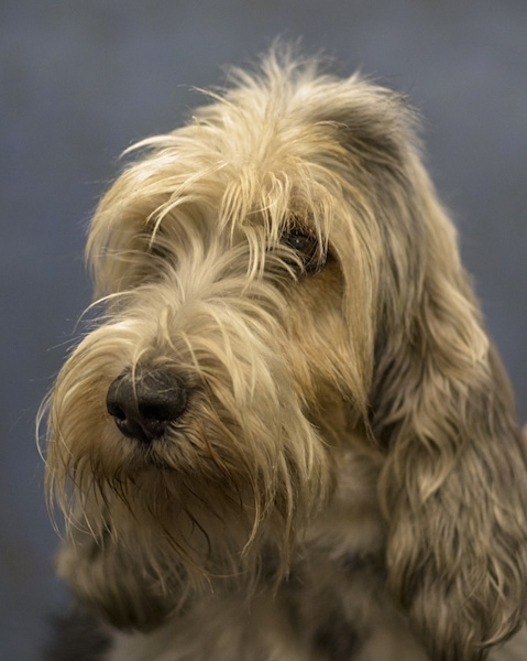 Close up head shot - A shaggy-looking, long coated, white with tan Petit Basset Griffon Vendeen dog. It has long soft looking drop ears that hang down to the sides and a black nose. Its long hair hangs over its dark eyes.
