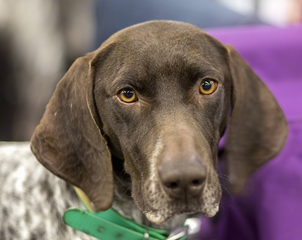 Front head shot of a brown dog with a white body that has brown ticking spots all over it. The dog has long, wide soft ears that hang down to the sides of its head, brown eyes and a brown nose. It is wearing a green collar.