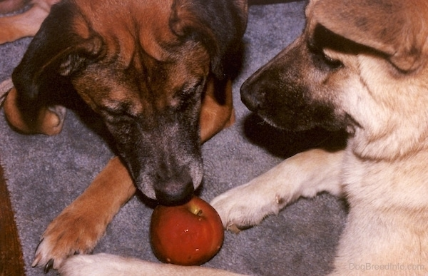 Two large breed dogs a brown and black dog and a tan and black dog laying down on a brown carpet looking at a shiny red apple.