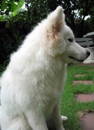 Side view of a soft fluffy white dog with a thick coat and a long muzzle with a black nose and dark eyes sitting down in the grass in front of a brick walkway.