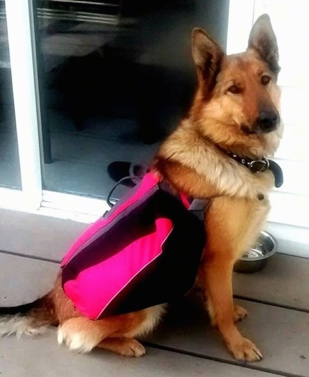A large breed thick coated tan with black dog wearing a hot pink and black vest sitting outside on a deck in front of a sliding glass door. The dog has large perk ears, a long snout and a black nose. Its eyes are brown. There is a silver water bowl next to it. It looks like a shepherd dog.