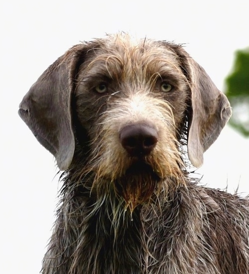 Close up front view head shot - A large breed wet, wiry looking dog with long drop ears. It has longer hair down its stop to is snout and a beared and on its chest and shorter hair on its soft looking ears. It has light golden silver eyes.