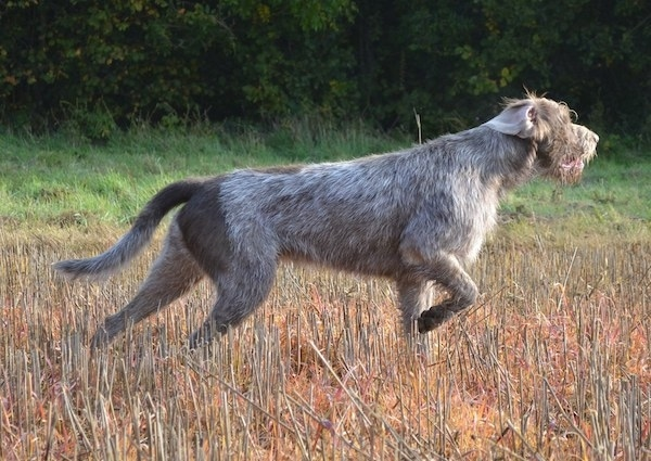 Side view - A wiry grey Slovakian Rough Haired Pointer dog in a field pointing to the right. The dog has longer wiry looking hair on its chin and face. One of its ears is flipped inside out. One front paw is up in the air and its tail is being carried low.