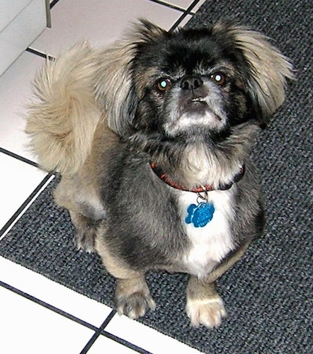 A little toy dog with short legs, a pushed back face, round brown eyes, a shaved black, tan and white coat with longer hair on its ears and tail. The tail curls up over the dog's back and fluffs out. The dog is sitting inside a house on top of a gray mat that is on top of a white tiled floor.