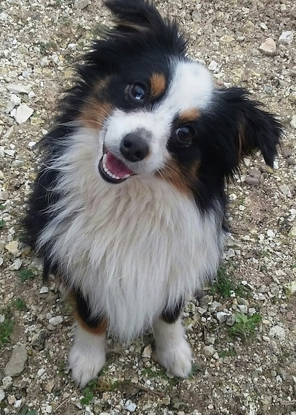 Front view - A long haired, tricolored white, black and tan, fluffy little dog with ears that stand up and fold over at the tips, a black nose, dark eyes with its head tilted to the side smiling at the camera while sitting on the ground on top of small white stones.