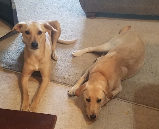 Two tan dogs laying side by side on a tan tiled floor and half way on a tan carpet. The dogs look very similar with fold over ears, long tails, black noses and brown eyes. The dog on the left is looking up and the dog on the right has its head down on the floor resting.