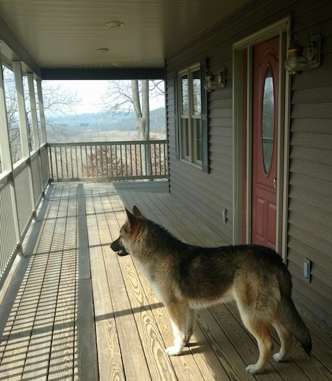 A large breed thick coated black and tan saddle patterned dog with perk ears and a long fluffy tail that the dog is holding down low standing on a wooden porch of a tan house that has a red door and a white railing.