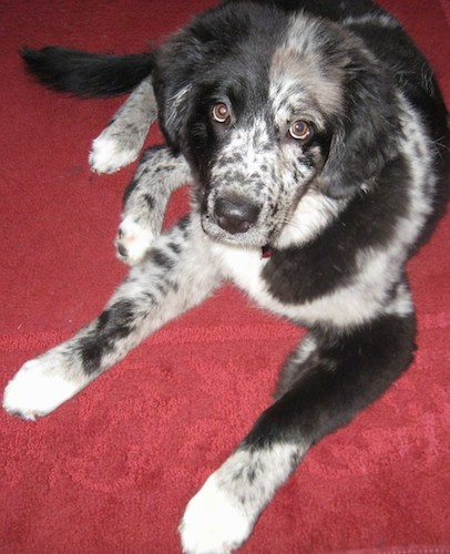 A black with white and gray speckled soft looking dog with soft ears that hang down to the sides, wide round brown eyes, a black nose and a long tail laying down on a red carpet.