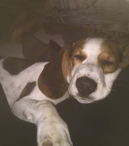 Front view of a sleeping white, brown and black hound dog puppy laying down on a person's bed. The pup has a big black nose, a big paw and brown around his eyes with brown ears an da white face.