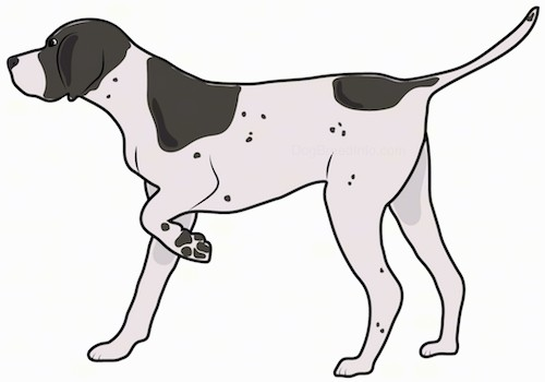 A large breed brown and white dog with ticking spots and large patches of brown on its white body standing sideways with one paw up in the air pointing to the left.