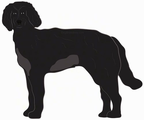 Side view of a large breed black dog with a gray spot on his belly and chest, a black nose, dark eyes and a long tail.