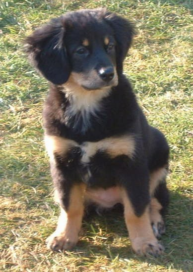 A cute little black tan with white puppy sitting down in grass outside. The dog has soft ears that hang down to the sides and front of the dogs head, dark almond shaped eyes, a black nose and a black head with tan spots as eyebrows.