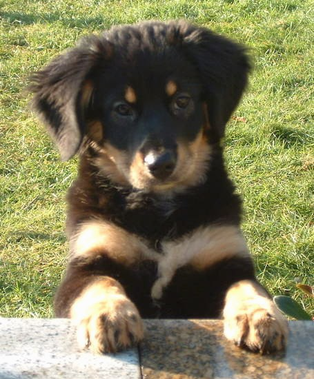 A small black and tan puppy with thick soft fur and ears that hang down to the sides with dark almond shaped eyes, a black nose, tan spots above they eyes on his black head, tan paws and a tan with white stripe across the front of her chest outside in grass jumped up with her front paws on a stone wall.