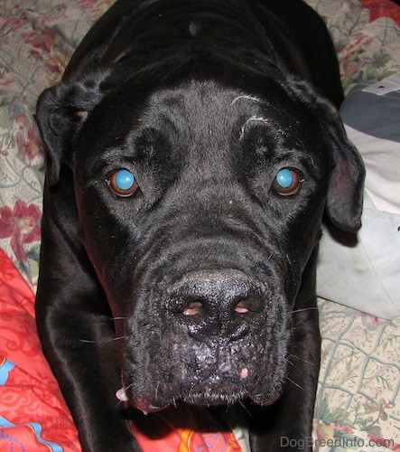 Front view looking down at the face of a large black dog with a huge head, brown eyes and a big black nose with extra skin laying down on a person's bed.
