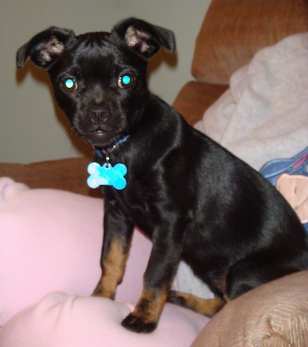 A small black puppy with a short shiny coat, wide round eyes, ears that stick out and fold down to the sides and tan on her legs sitting down on a person's bed.
